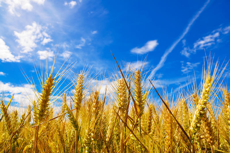 Golden wheat plant meadow under a blue vivid sky royalty free stock images