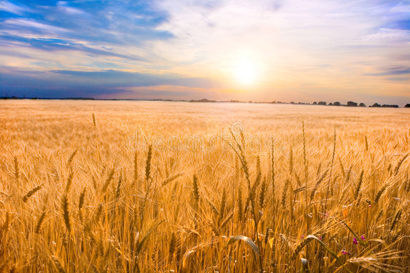 Golden wheat ready for harvest growing in a farm stock images