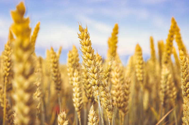 Golden wheat ripe in the field. Wheat stalk and grain close p, selective focus soft shades of yellow and orange background Summer stock image