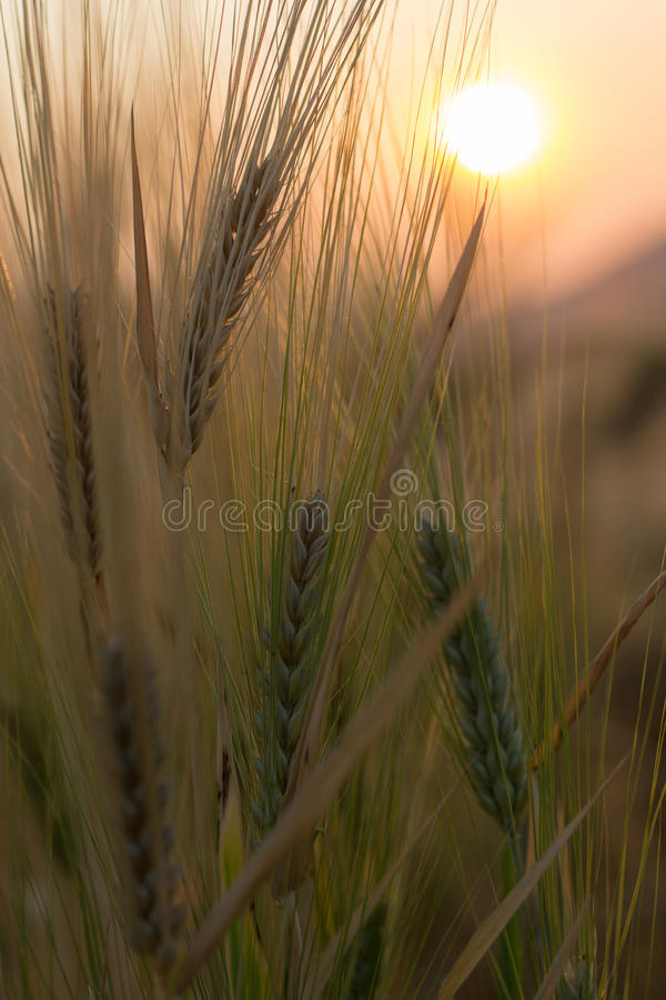 Golden wheat and sunset royalty free stock photography