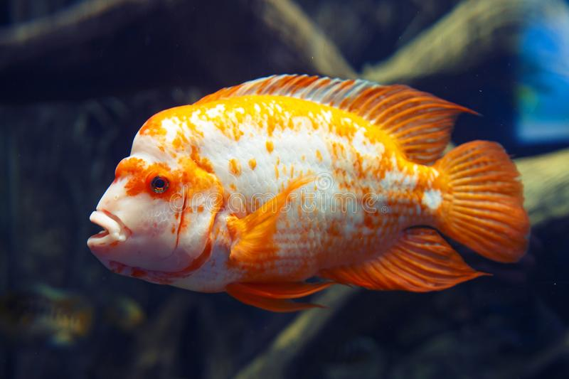 Golden and white fish in dark blue deep water. Orange sea fish on the seabed. Magic goldfish in blue water. stock image