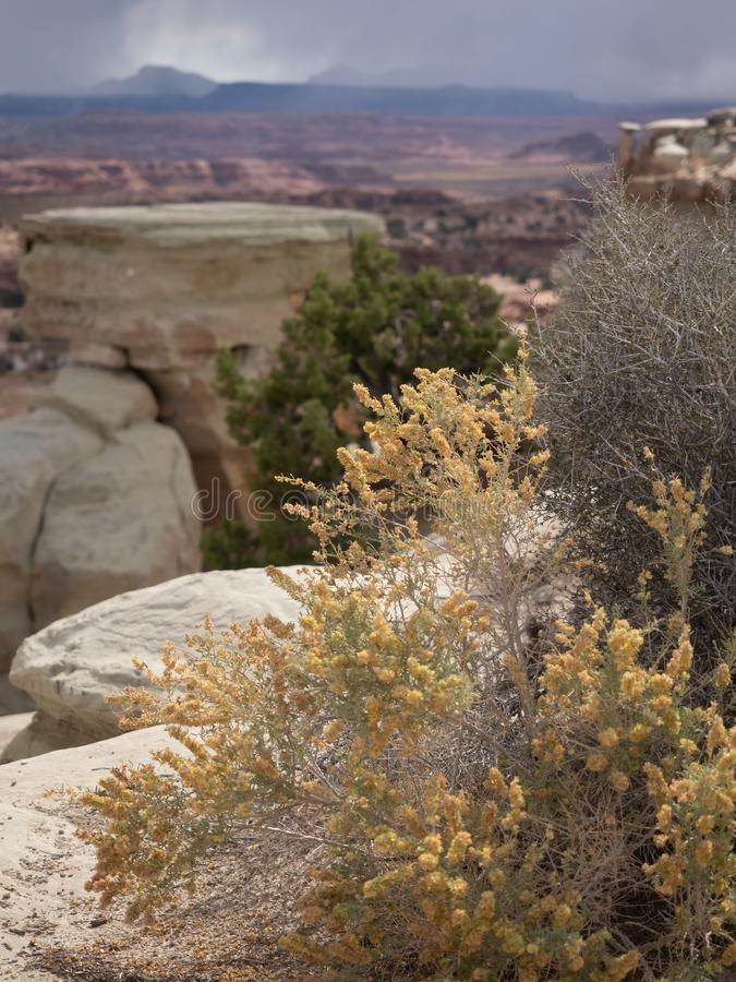 Golden Wildflowers with the Little Grand Canyon in the Background. Golden wildflowers in the foreground with the rock formations and colorful canyon walls of the royalty free stock photos