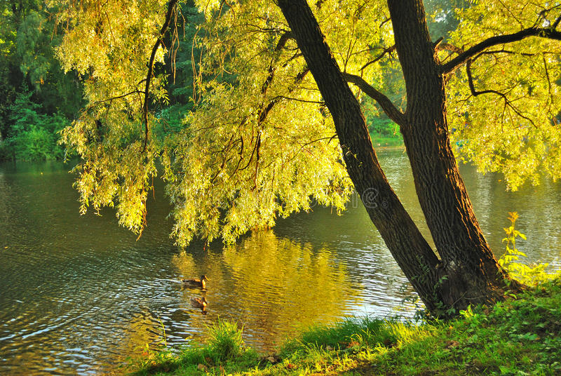 Golden willow. Willow in the golden light of the evening sun on the river bank in september stock images