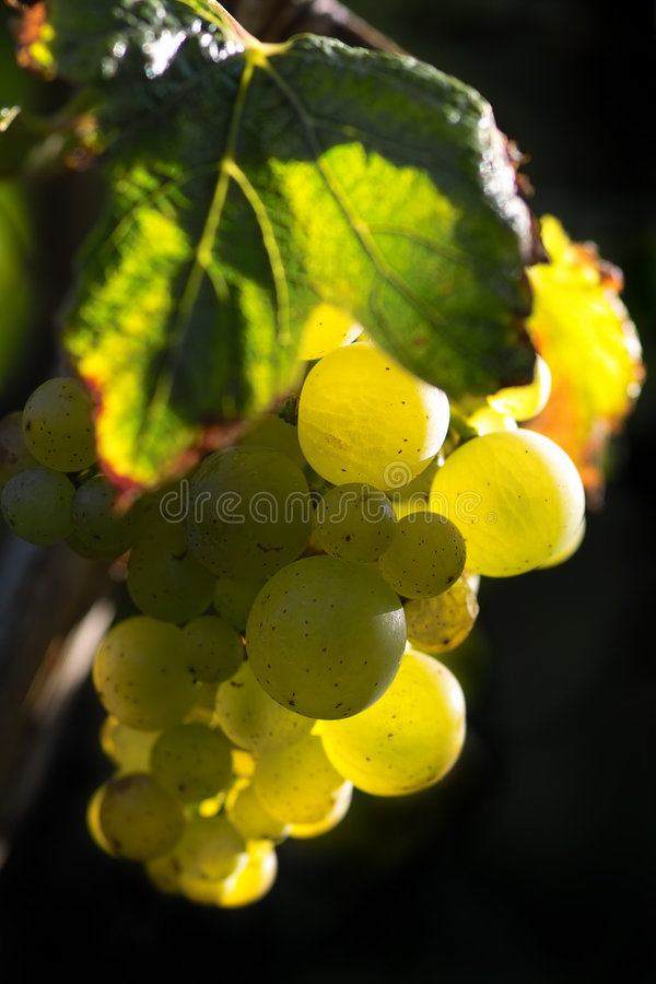 Golden wine grapes stock photo
