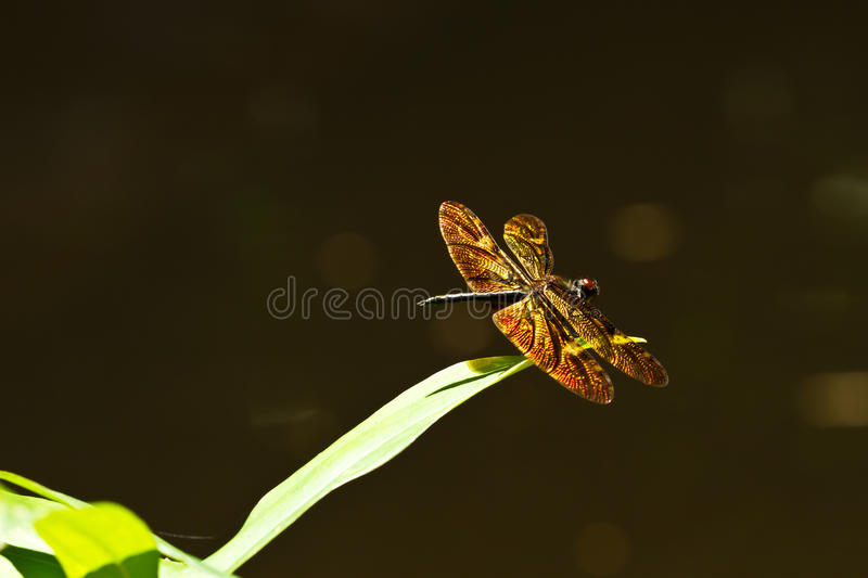 Golden wing stock images