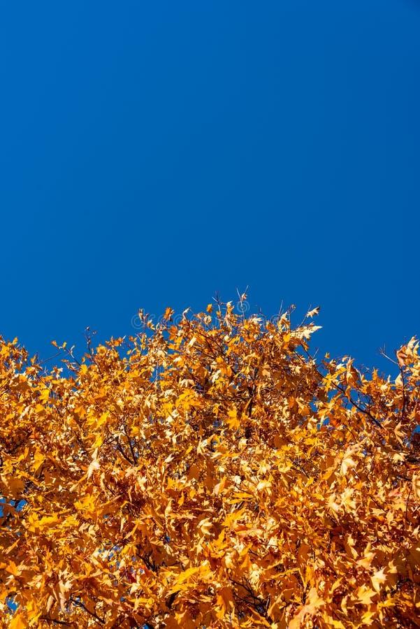 Golden Yellow Autumn Leaves under Clear Blue Sky arkivbild