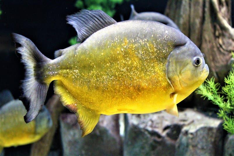 Sao Francisco Piranha swimming in an aquarium stock photos
