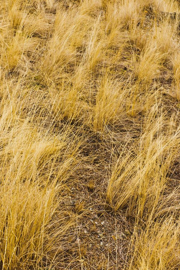 Golden yellow bunchgrass stock image