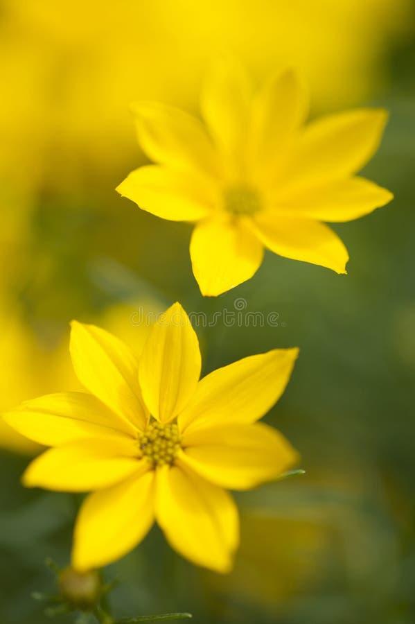 Golden yellow Coreopsis Verticillata Grandiflora Krasnoocko stock photography