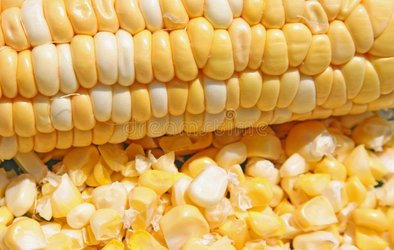 Golden Yellow Corn in bright light. Golden yellow corn on the cob lies horizontally with cut kernels of corn below in bright summer light royalty free stock photo