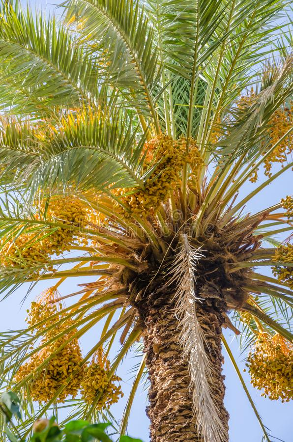 Golden yellow dates growing and hanging off palm trees in oasis, Morocco, North Africa stock images