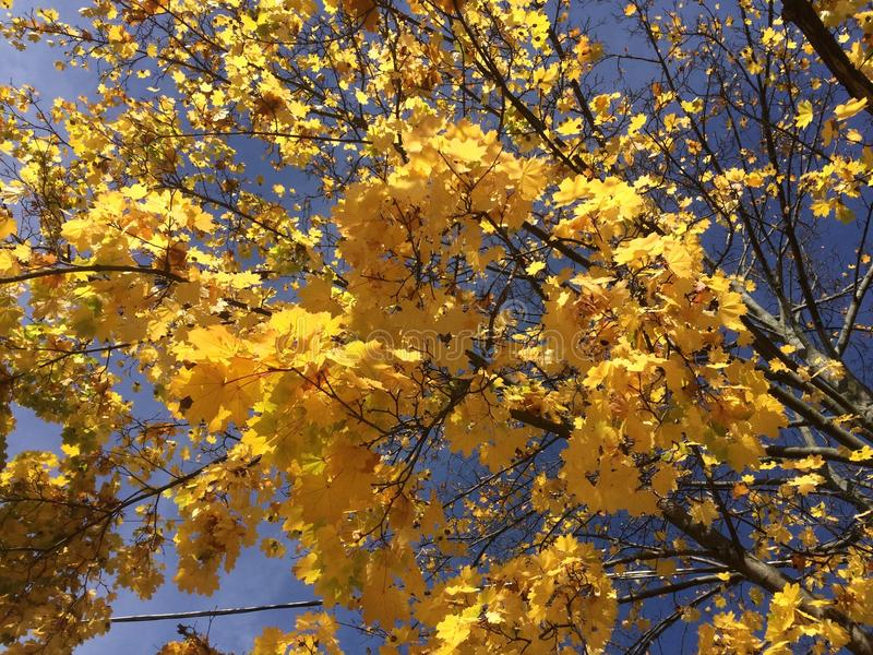 Golden yellow fall colors in upstate New York. The sun lights up fall colors on an October day in upstate New York stock image