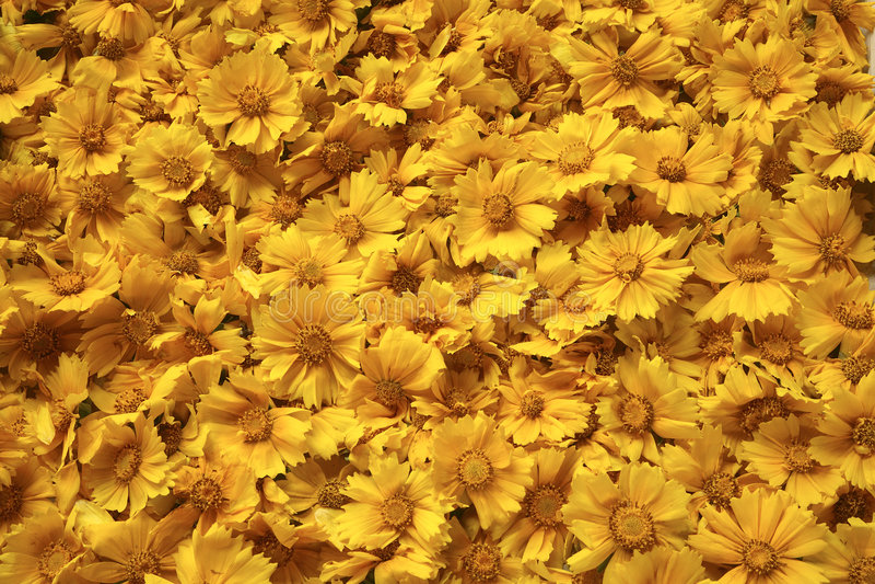 Golden yellow flowers background stock image image of tickseed download golden yellow flowers background stock image image of tickseed lanceolata 7207179 mightylinksfo