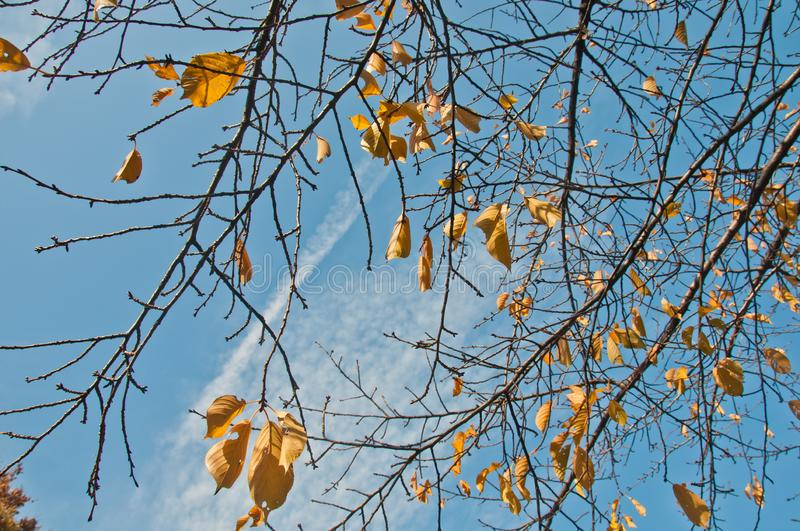 Golden yellow foliage dried leaves in late Autumn with blue sky cloudy sunny day stock photo