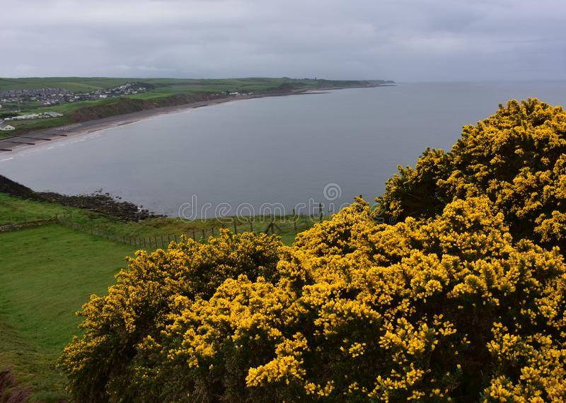 Golden Yellow Gorse Bushes on the Sea Cliffs Above St Bees. Pretty golden yellow gorse bushes on the sea cliffs above St Bees in England stock images