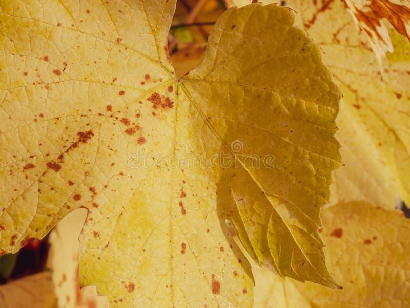 Golden yellow grape leaves lit by Autumn sunshine. Golden yellow grape leaves sidelit by bright Autumn sunshine stock photo