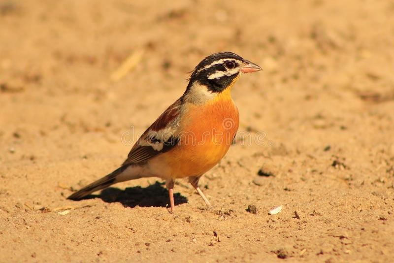 Download Goldenbreasted Bunting - African Gold Stock Image - Image: 26501361