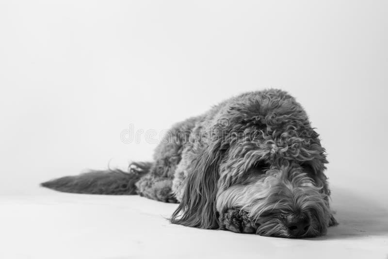 Goldendoodle στο στούντιο στοκ φωτογραφίες με δικαίωμα ελεύθερης χρήσης