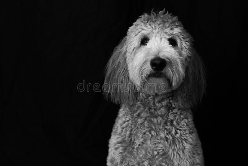Goldendoodle στο στούντιο στοκ φωτογραφία με δικαίωμα ελεύθερης χρήσης
