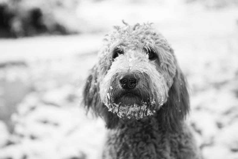 Goldendoodle στο χιόνι στοκ φωτογραφία