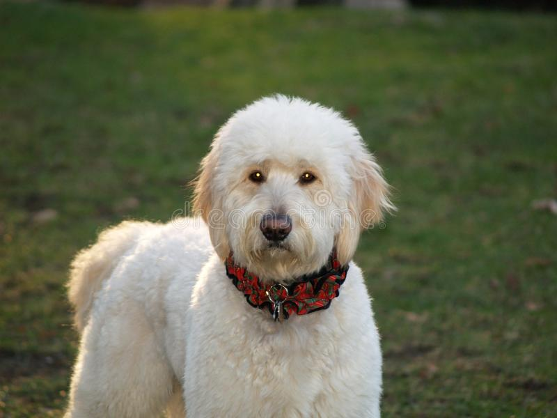 Goldendoodle immagine stock