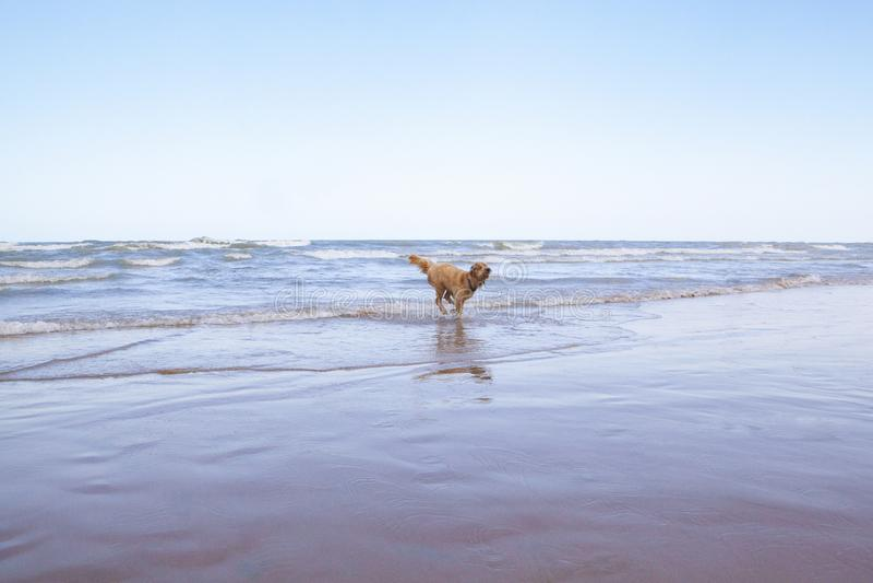 Goldendoodle a appelé Woody Running sur le rivage du lac Michigan image stock