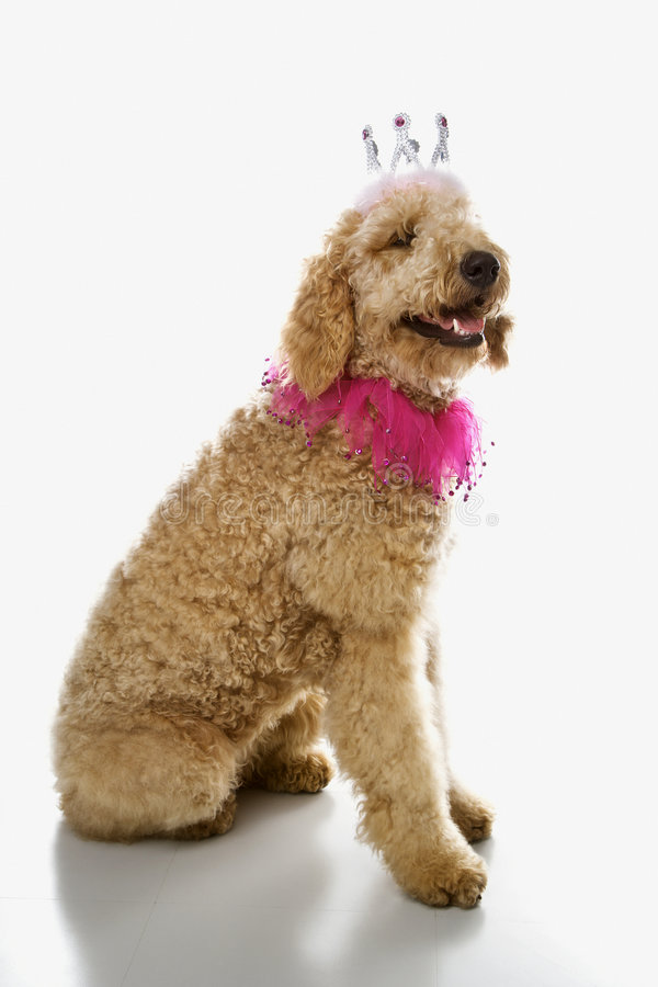 Goldendoodle dog wearing costume. royalty free stock images