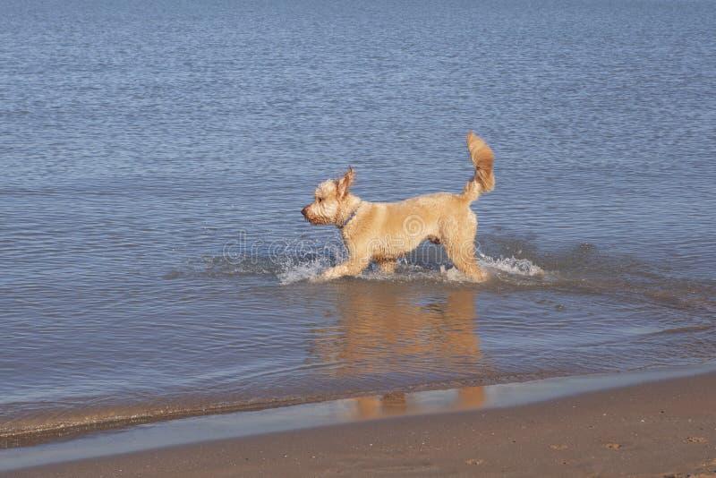 Goldendoodle fonctionnant dans le lac Michigan images stock