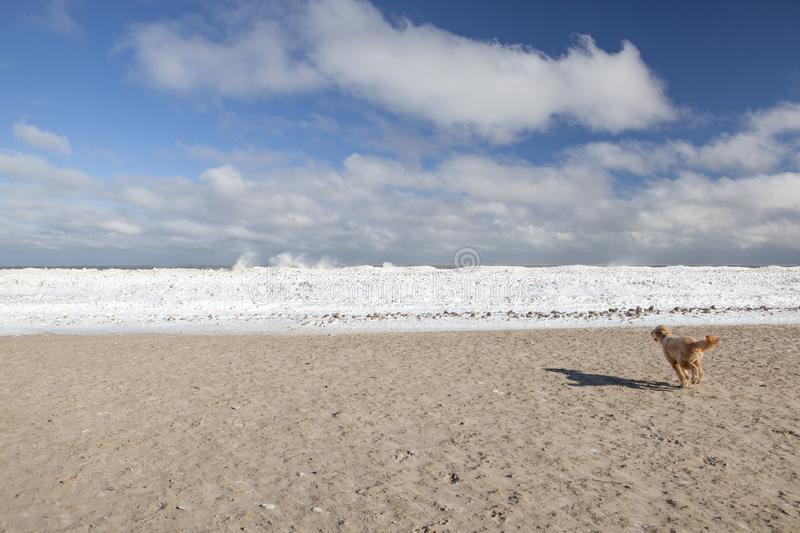 A Goldendoodle Running Toward Frozen Lake Michigan, Chicago royalty free stock photo