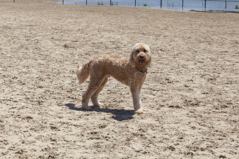 Goldendoodle sur la plage Chicago photographie stock libre de droits