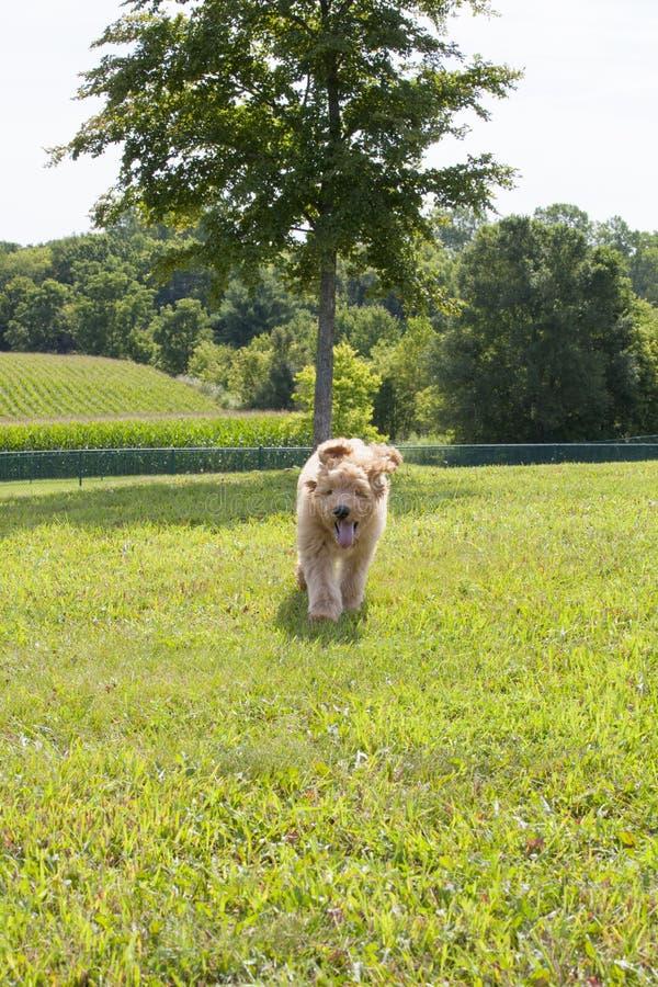 Goldendoodlepuppy die met Oren het Vliegen lopen stock afbeeldingen