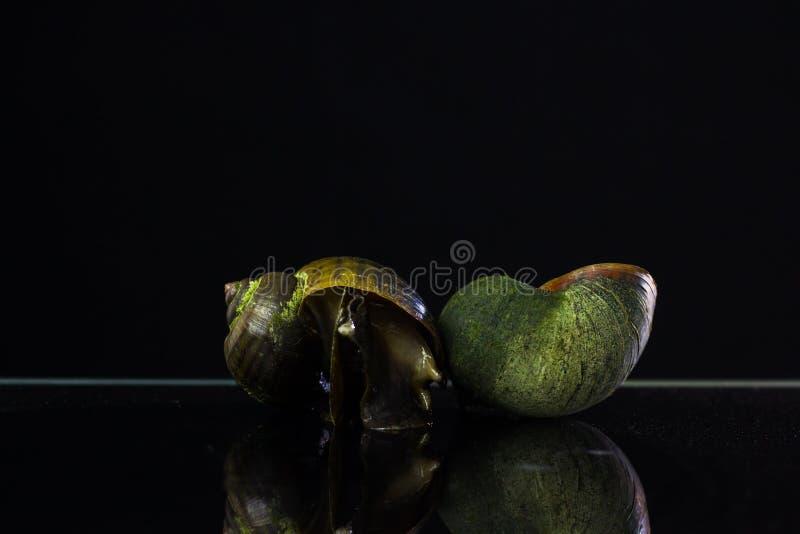 goldene Apfelschnecke Auf einem schwarzen Hintergrund die Feinde in Reis f stockbilder