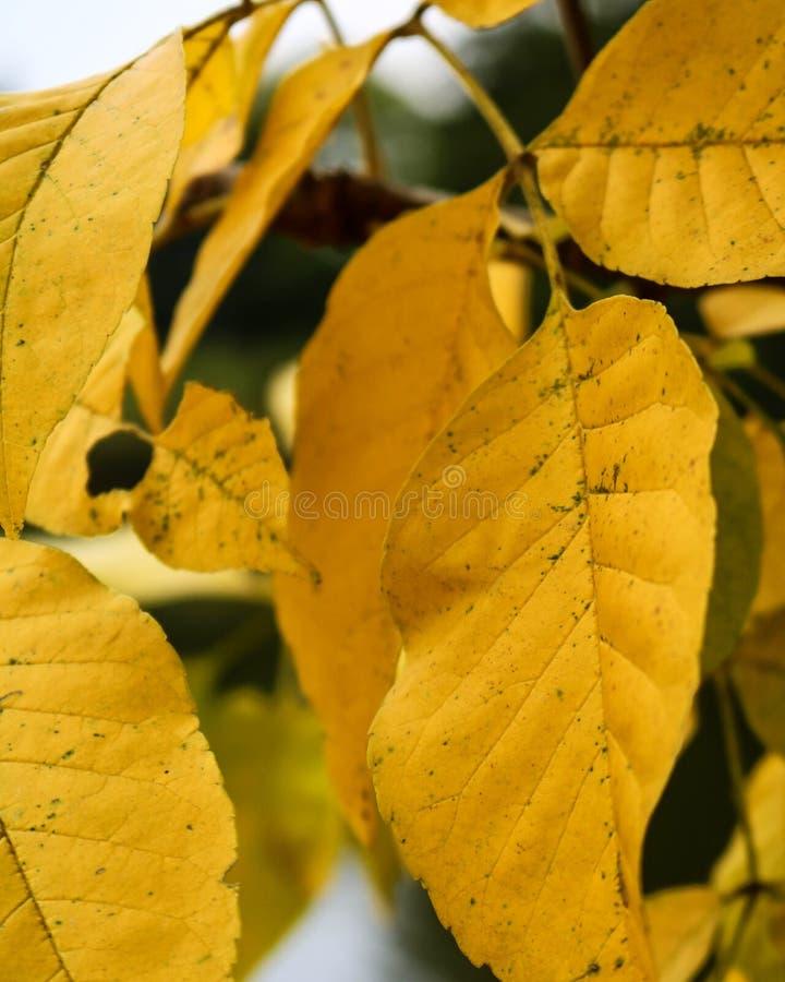 Goldene Bäume stockbilder