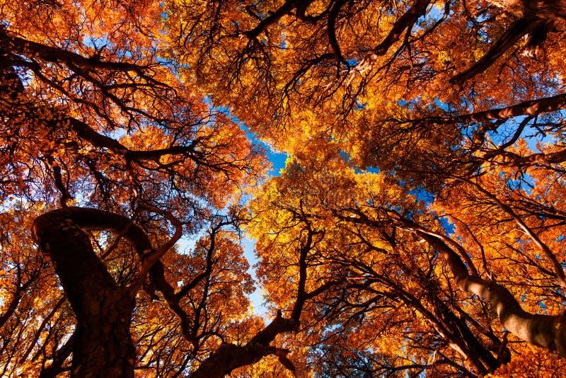 Goldene Bäume des Waldes nahe Fitz Roy im Herbst lizenzfreies stockbild