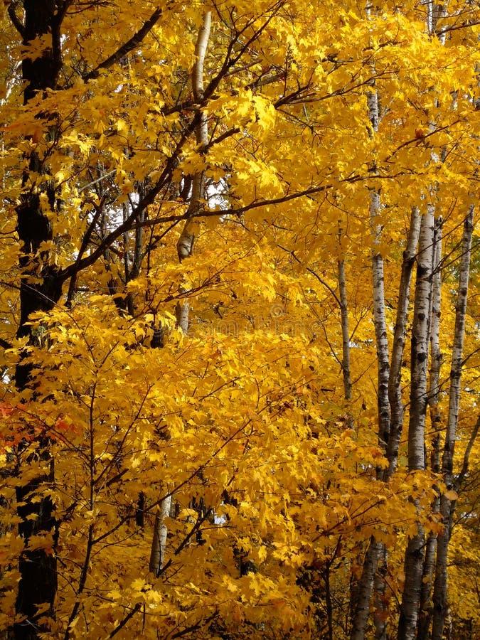 Goldene Bäume morgens lizenzfreies stockfoto