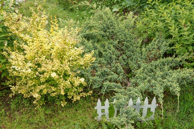 Goldene Berberitzenbeere umgeben durch Buchsbaum und Wacholderbusch auf dem Hintergrund eines enormen Busches der Berberitzenbeer lizenzfreie stockbilder