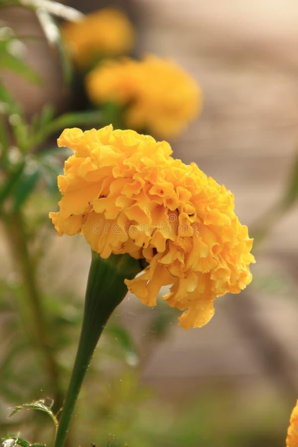 Goldene Blume Es schöne Blume Fokus in der Gussblume stockbilder