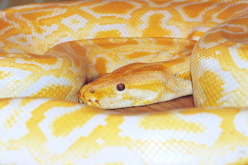Goldene Boa stockfotografie