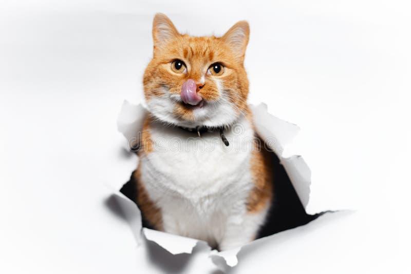 Goldene britische Katze durch gebrochenes Wei?buch stockbild