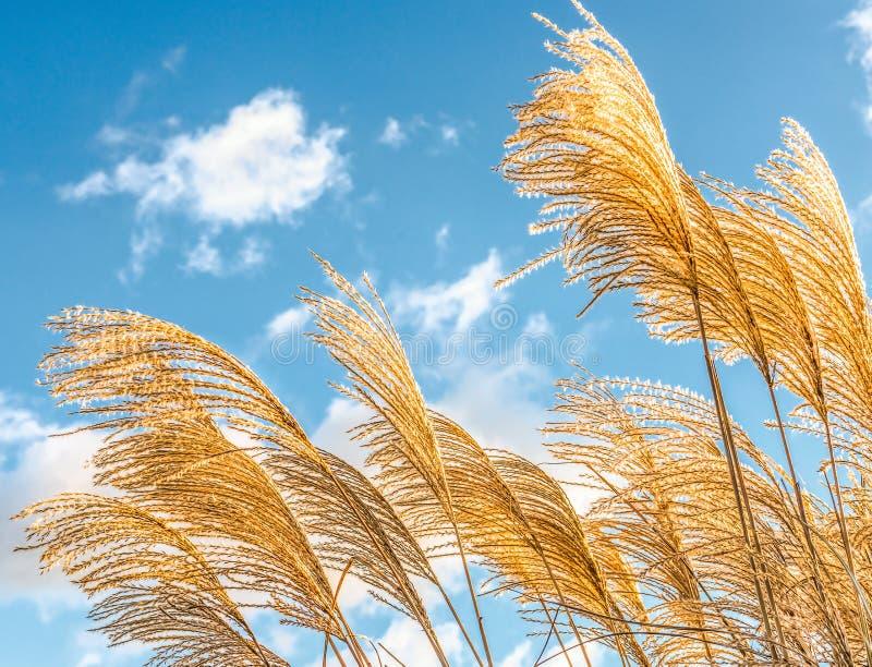 Goldene dekorative Schilfe des Grases in einem Winter parken gegen einen blauen Himmel lizenzfreie stockfotografie