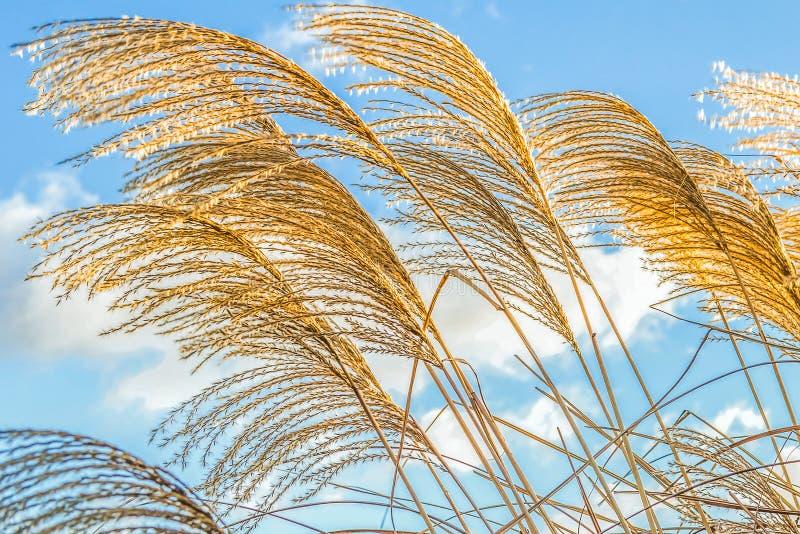 Goldene dekorative Schilfe des Grases in einem Winter parken gegen einen blauen Himmel stockfoto