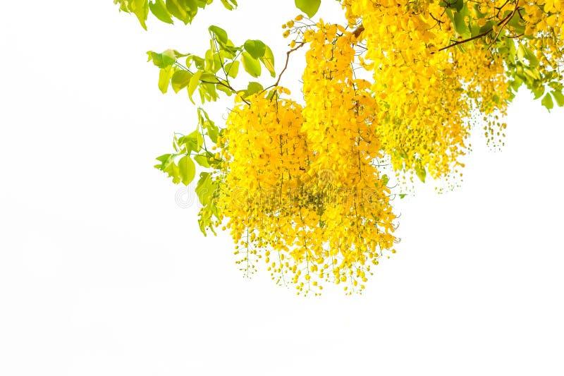 Goldene Duschbaum oder Kassiefistel ist- eine Blume, die in Thailand gesehen wird stockbilder