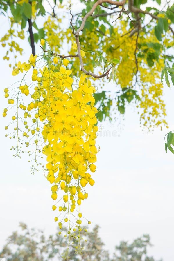 Goldene Dusche blüht, gelbe Blume Kassiefistel in Sommer T lizenzfreie stockfotografie
