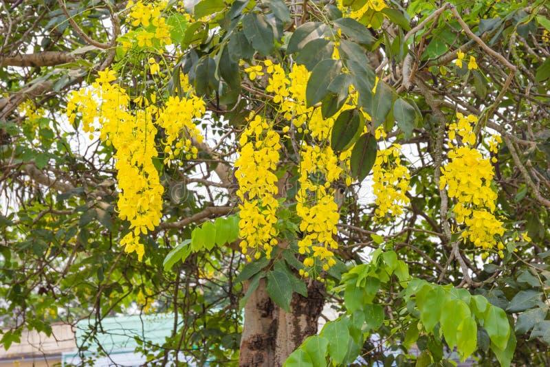 Goldene Dusche oder Cassia Fistula, nationaler Baum von Thailand lizenzfreie stockfotos