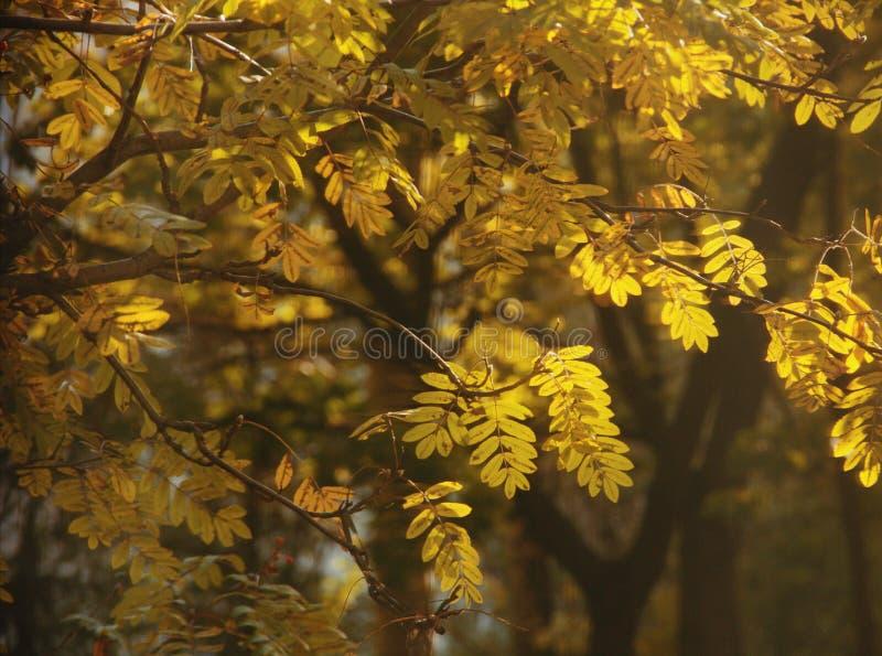 Goldene Ebereschenblätter lizenzfreies stockfoto