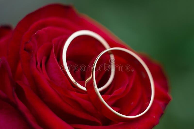 Goldene Eheringe sind auf Rotrose, Nahaufnahme stockbild