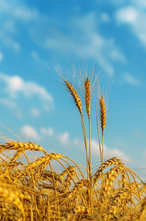 Goldene Ernte auf dem Gebiet lizenzfreie stockfotografie