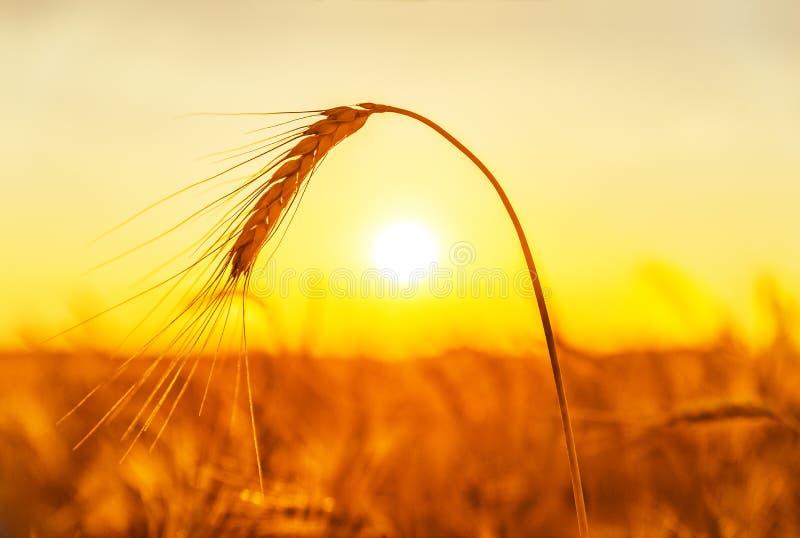 Goldene Ernte auf Feld stockfotografie