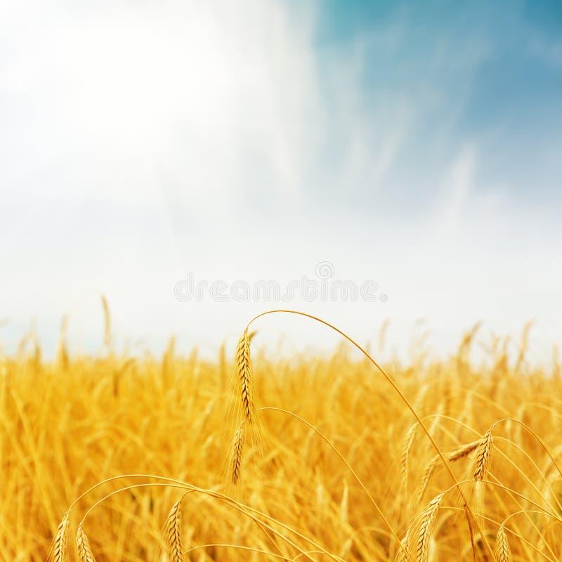 Goldene Ernte auf Feld auf Sonnenuntergangzeit stockbild