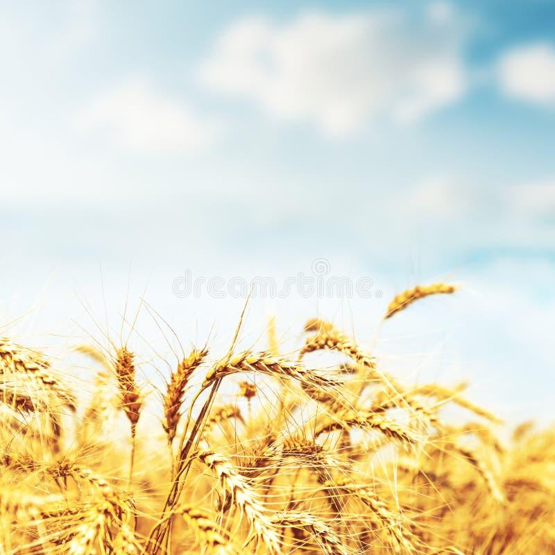 Goldene Ernte auf Sonnenuntergangzeit auf dem Gebiet stockfotos
